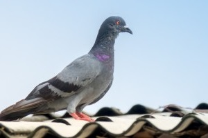 Pigeon Pest, Pest Control in Holland Park, W11. Call Now 020 8166 9746
