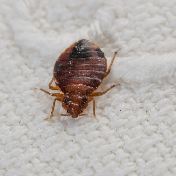 Bed Bugs, Pest Control in Holland Park, W11. Call Now! 020 8166 9746