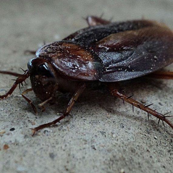 Cockroaches, Pest Control in Holland Park, W11. Call Now! 020 8166 9746