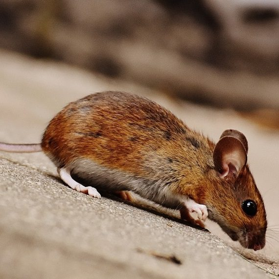Mice, Pest Control in Holland Park, W11. Call Now! 020 8166 9746