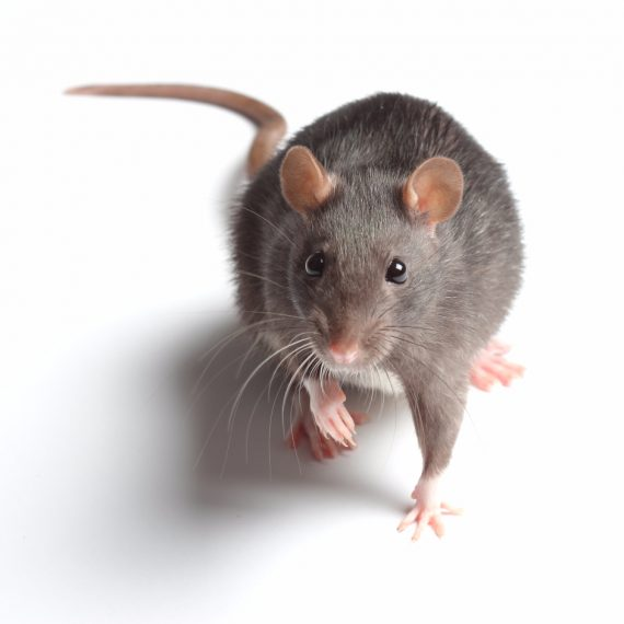 Rats, Pest Control in Holland Park, W11. Call Now! 020 8166 9746