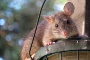 Rat extermination, Pest Control in Holland Park, W11. Call Now 020 8166 9746